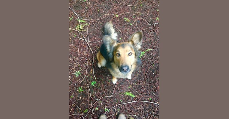 Photo of Roxy, a German Shepherd Dog, Collie, Koolie, Alaskan Malamute, and Mixed mix in Victoria, British Columbia, Canada