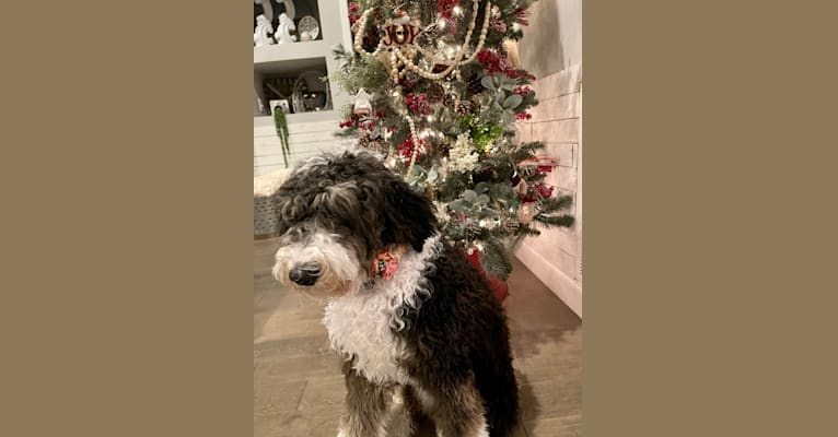 Photo of Remington-Kate, a Sheepadoodle  in SD, USA
