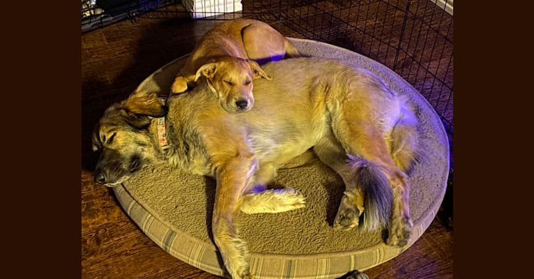 Photo of Hunter, a Chinese Shar-Pei, Labrador Retriever, Mastiff, and Mixed mix in Fort Worth, TX, USA