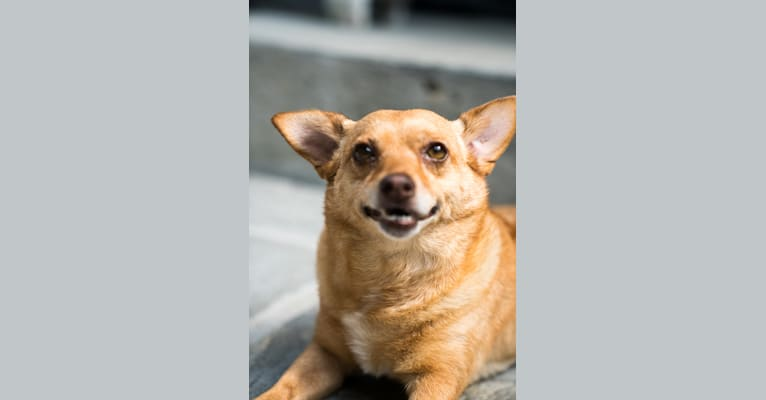 Photo of Ferdie, a Chihuahua, Pomeranian, Poodle (Small), and Mixed mix