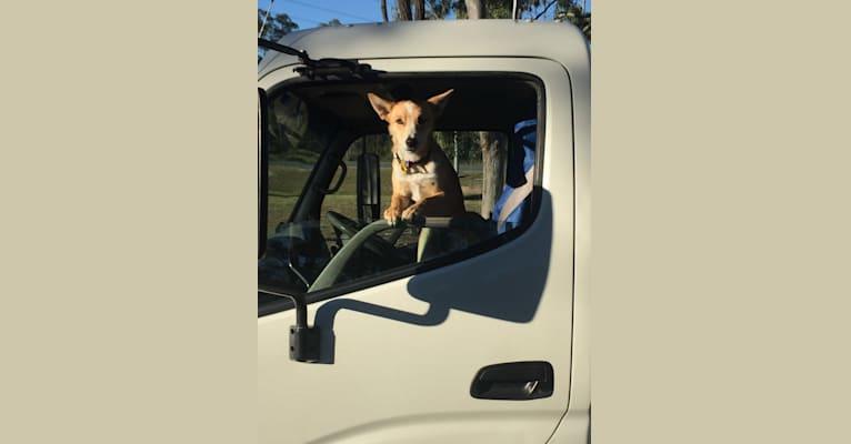 Photo of Chamonix, an Australian Cattle Dog, Australian Kelpie, Border Collie, and Mixed mix in Australia