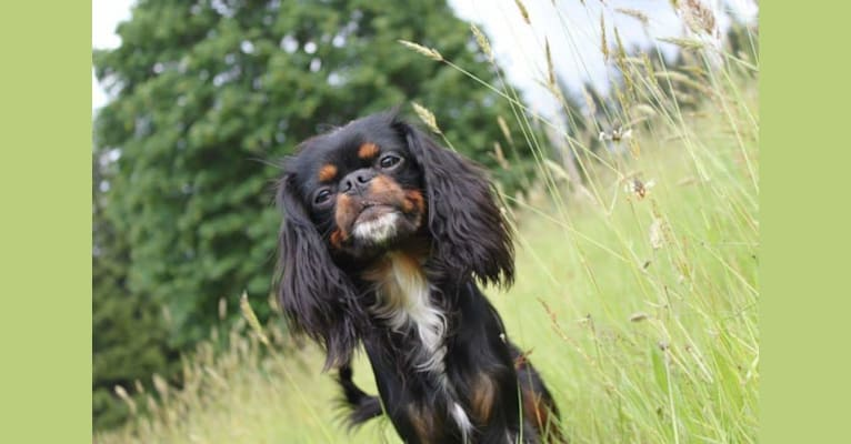 Photo of Maisey, a Cavalier King Charles Spaniel and English Toy Spaniel mix