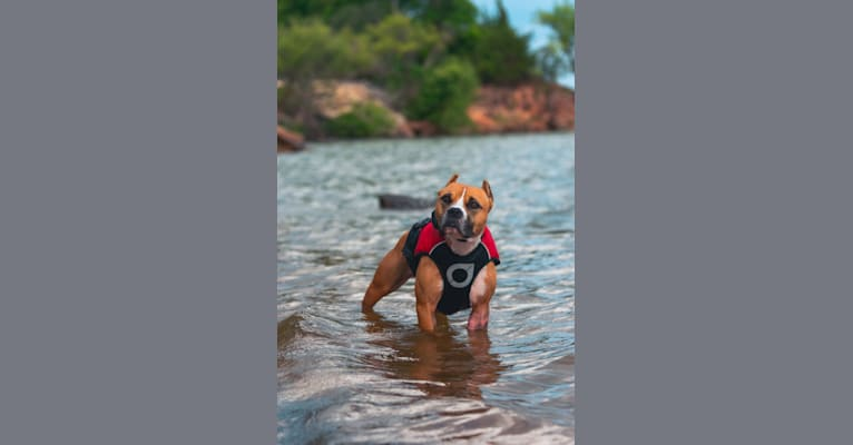 Photo of Waldo, an American Pit Bull Terrier  in Yukon, Oklahoma, USA