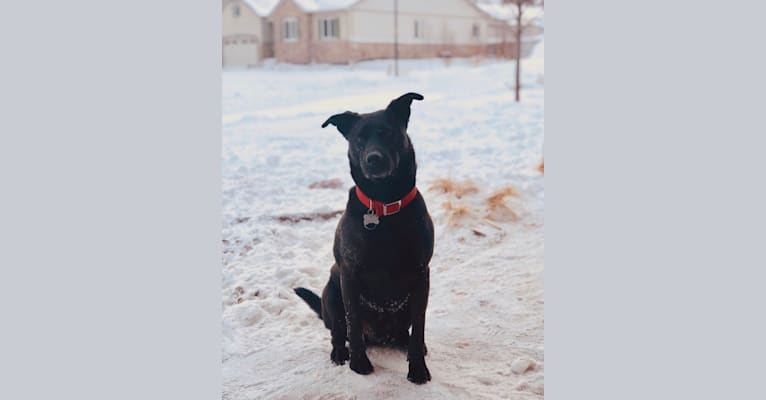 Photo of Rex, an American Pit Bull Terrier, Chow Chow, Australian Cattle Dog, and Mixed mix in Castle Rock, Colorado, USA