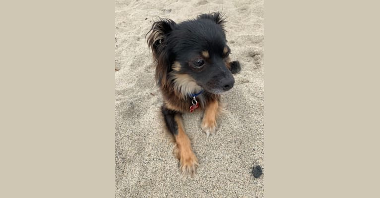 Photo of Wally, a Poodle (Small), Chihuahua, and Mixed mix in Los Angeles, California, USA