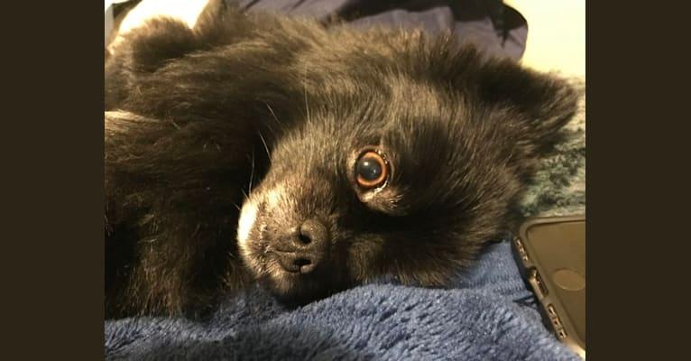 Photo of Marlin, a Pomeranian  in Rosetown, SK, Canada