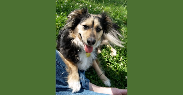 Photo of Radar, a Chihuahua, Rat Terrier, Pekingese, Cocker Spaniel, Staffordshire Terrier, and Mixed mix