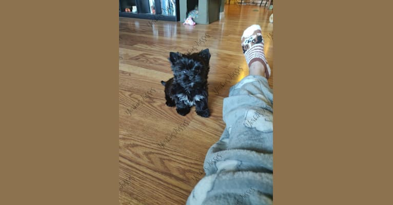 Photo of Wiley, a Yorkshire Terrier  in Kendallville, IN, USA