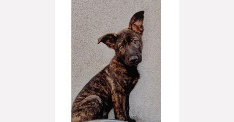 Photo of Nyx, a German Shepherd Dog and American Pit Bull Terrier mix in Los Angeles, California, USA