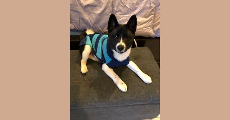 Photo of Oreo, a Shiba Inu  in Ohio, USA
