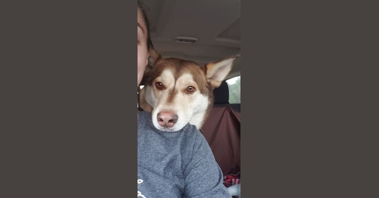 Photo of Bubba, a Siberian Husky, German Shepherd Dog, Boxer, and Labrador Retriever mix in Stanton, MI, USA