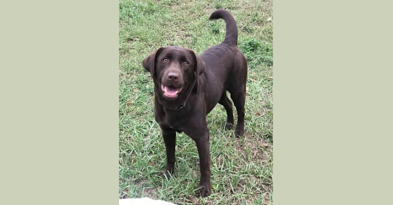 Photo of Mysti, a Labrador Retriever  in Eustis, FL, USA