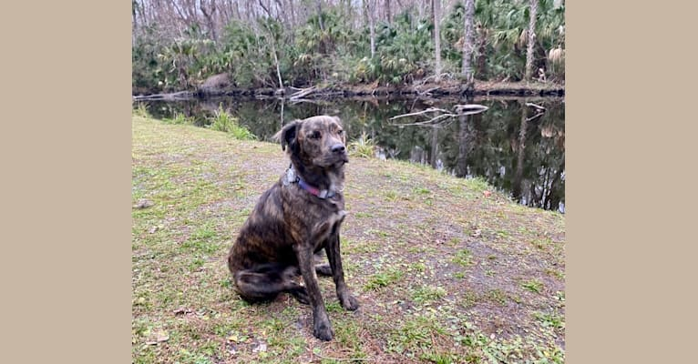 Photo of Zeta, an American Pit Bull Terrier, American Staffordshire Terrier, and Bulldog mix in Georgia
