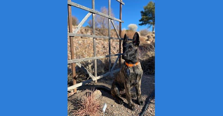 Photo of Grizz, a Dutch Shepherd  in Laredo, Texas, USA