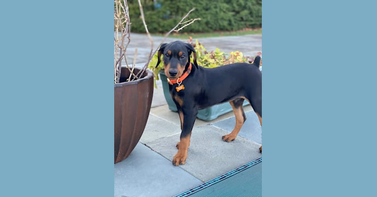 Photo of Milan Masia, a German Pinscher  in Howell, NJ, USA
