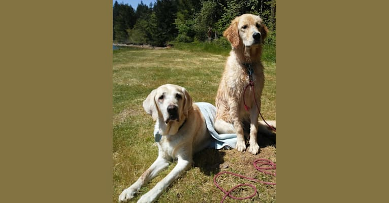 Photo of Tillie, a Newfoundland, Golden Retriever, and Poodle (Standard) mix in Gold Beach, Oregon, USA
