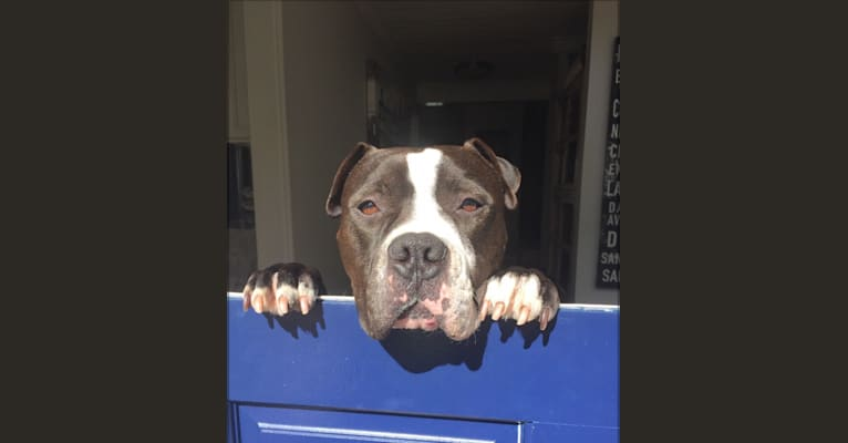 Photo of Derby, an American Bully, American Pit Bull Terrier, and American Staffordshire Terrier mix in California, USA