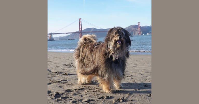 Photo of Shiloh, a Shih Tzu, Rottweiler, Miniature Pinscher, Australian Shepherd, Australian Cattle Dog, and Mixed mix in California, USA