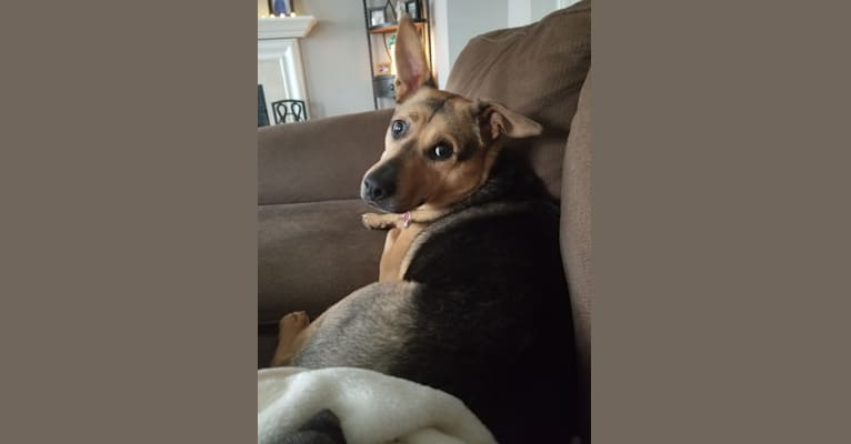 Photo of Zoey, a Rat Terrier, Siberian Husky, Chow Chow, Boxer, and American Pit Bull Terrier mix in Georgia, USA