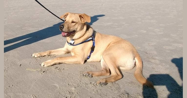 Photo of Willie Kirsch, a Labrador Retriever, American Pit Bull Terrier, Chow Chow, Cocker Spaniel, and Mixed mix in South Carolina, USA