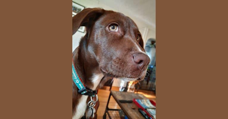 Photo of Valkyrie, a Golden Retriever, Labrador Retriever, and American Foxhound mix in Mississippi, USA