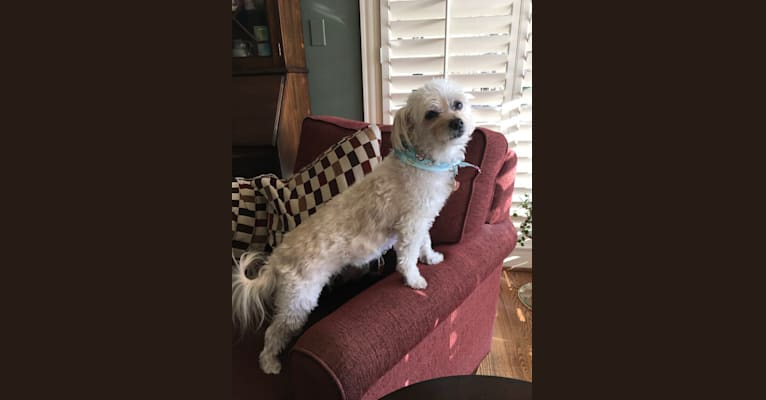 Photo of Mia, a Poodle (Small), Chihuahua, and Havanese mix in New York, USA