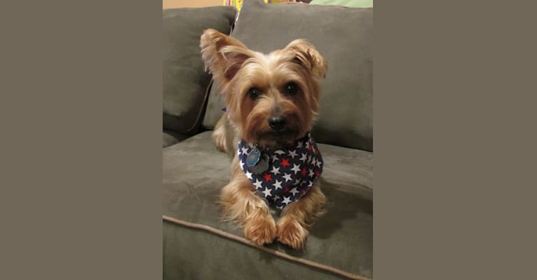 Photo of Riley, a Silky Terrier  in Missouri, USA
