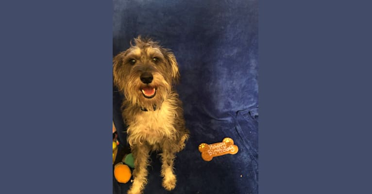 Photo of Fallon, a Miniature Schnauzer and Russell-type Terrier mix in Champaign, IL, USA