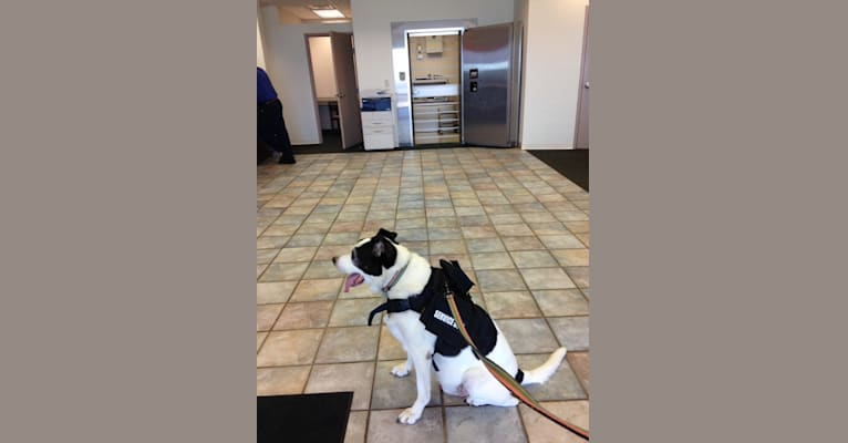 Photo of Stewart, a Samoyed and American Pit Bull Terrier mix in Concord, Ohio, USA