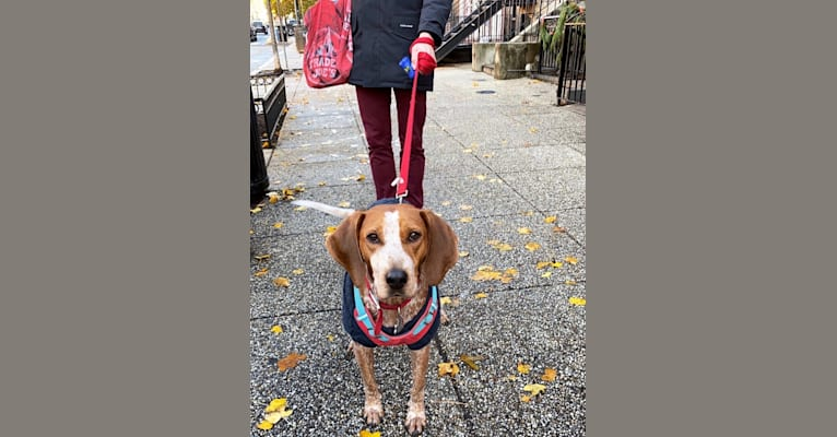 Photo of Garak, an American English Coonhound  in Nashville, Tennessee, USA