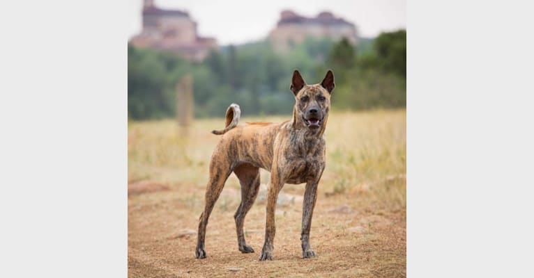 Photo of Zyra, a Phu Quoc Ridgeback  in Los Angeles, CA, USA