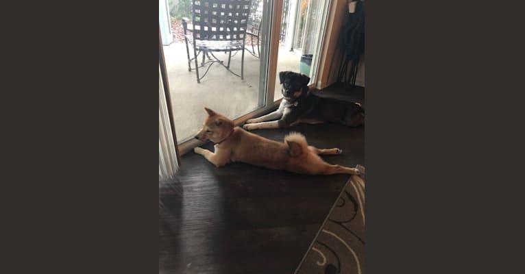 Photo of Chomski, a Siberian Husky, Cocker Spaniel, and American Staffordshire Terrier mix in Orlando, Florida, USA