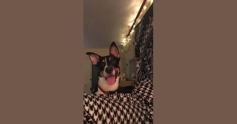 Photo of Silas, a Pembroke Welsh Corgi, Boston Terrier, and Boxer mix in Kentucky, USA