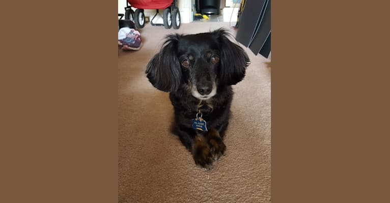 Photo of Mr. Darcy, a Dachshund, Pug, and Mixed mix in Catonsville, Maryland, USA