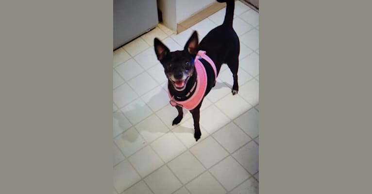 Photo of Bella, a Toy Fox Terrier and Silky Terrier mix in Lake Stevens, WA, USA