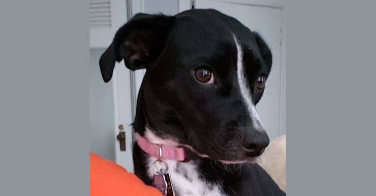 Photo of Jacqui, a Rat Terrier, Boston Terrier, and Pug mix