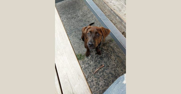 Photo of Finn, an American Pit Bull Terrier, Redbone Coonhound, American English Coonhound, and Black and Tan Coonhound mix in Durham, North Carolina, USA