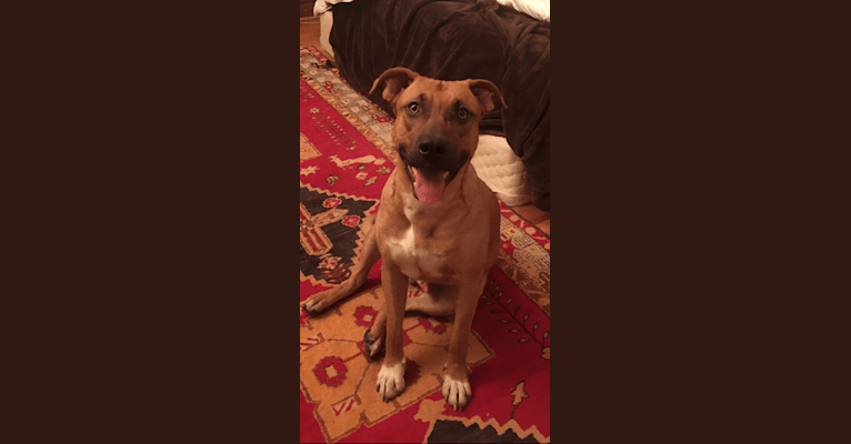 Photo of Ragnar, an American Pit Bull Terrier, Golden Retriever, German Shepherd Dog, and American Staffordshire Terrier mix