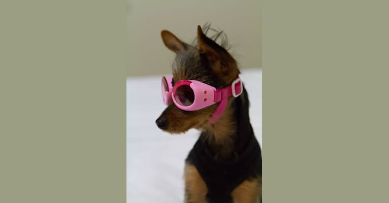 Photo of Lucy, a Yorkshire Terrier, Miniature Pinscher, and Manchester Terrier (Toy) mix in Seattle, Washington, USA