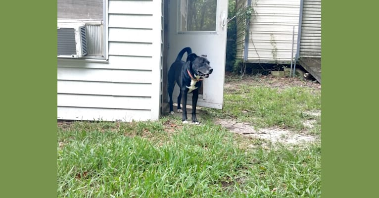 Photo of Junior, a Boxer, Labrador Retriever, American Pit Bull Terrier, American Bulldog, and Mixed mix