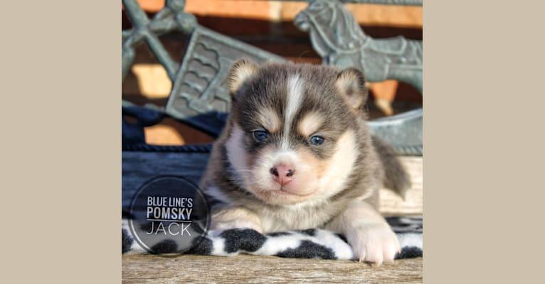 Photo of Jack (Whiskey's Pup), a Pomsky