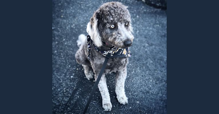 Photo of Bandit, an American Village Dog