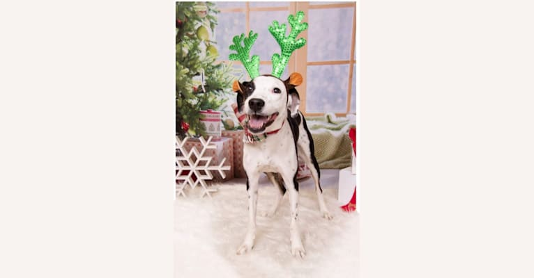 Photo of Frankie, an Australian Cattle Dog, American Pit Bull Terrier, Boxer, and Llewellin Setter mix in Texas, USA