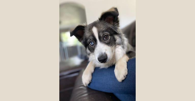 Photo of Stella, an Australian Cattle Dog, Border Collie, Norwegian Elkhound, Miniature/MAS-type Australian Shepherd, Siberian Husky, and Keeshond mix in Layton, Utah, USA