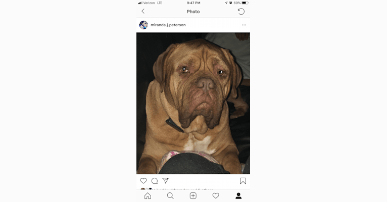 Photo of George, a Dogue de Bordeaux  in Rapid City, SD, USA