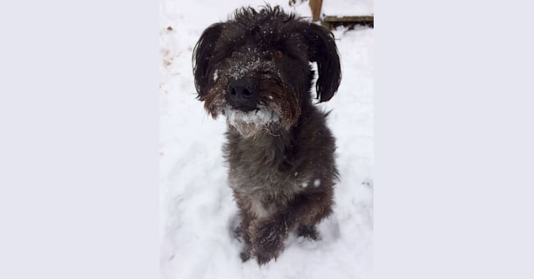 Photo of George, a Poodle (Small), Australian Cattle Dog, Shih Tzu, and Mixed mix in Lexington, Kentucky, USA