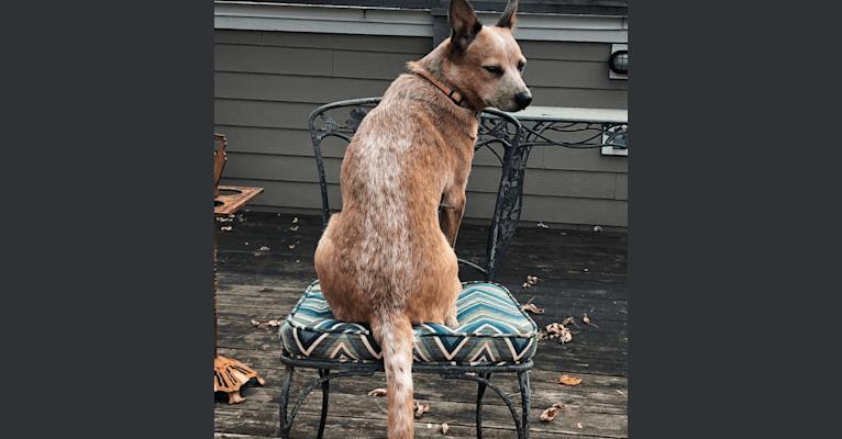 Photo of Joliet, an Australian Cattle Dog