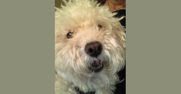Photo of Sherry, a Poodle (Small)  in New York, New York, USA