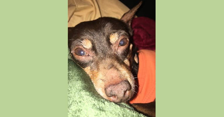 Photo of Beaux, a Miniature Pinscher  in Athens, Georgia, USA