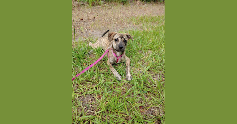 Photo of Moxie, an American Pit Bull Terrier, Chow Chow, Beagle, and Russell-type Terrier mix in Atlantic Beach, Florida, USA